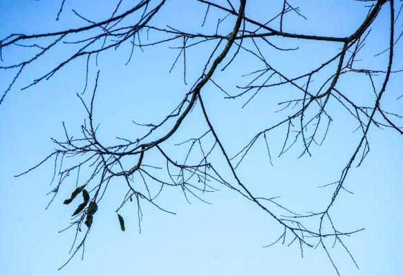 tree tracery