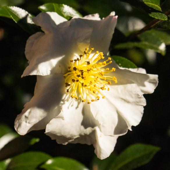Home,camellia-6898