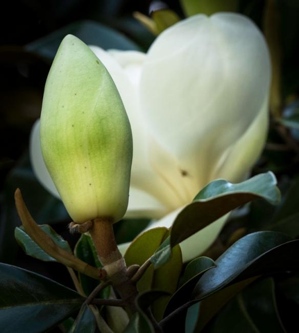 Furman Magnolias-61