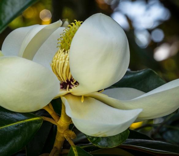 Furman Magnolias-62