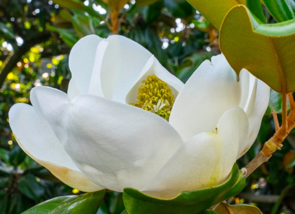 Magnolia in Botany Woods-66