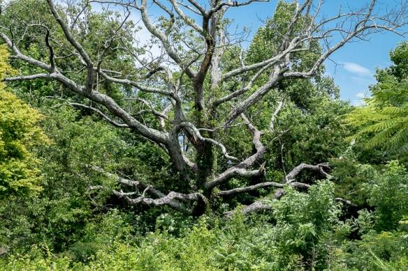 Dead Tree. Landrum-52