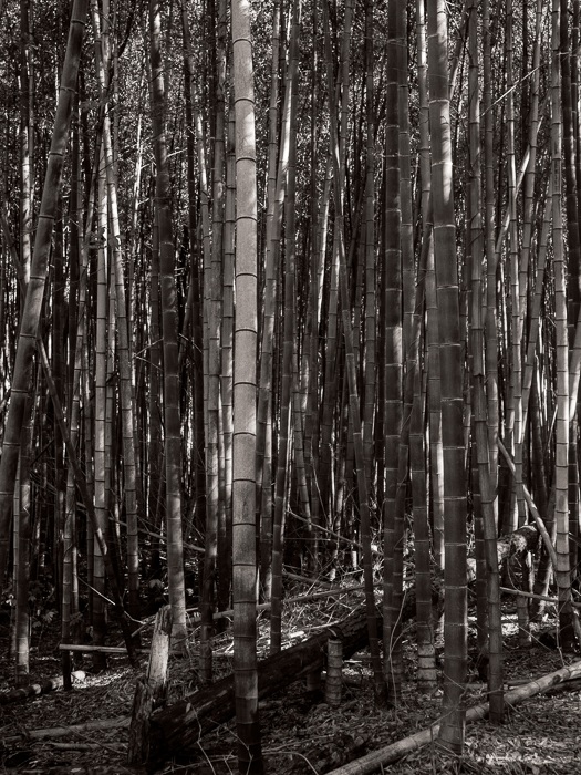 Clemson bamboo Forest with Sam and Al-2434-Edit