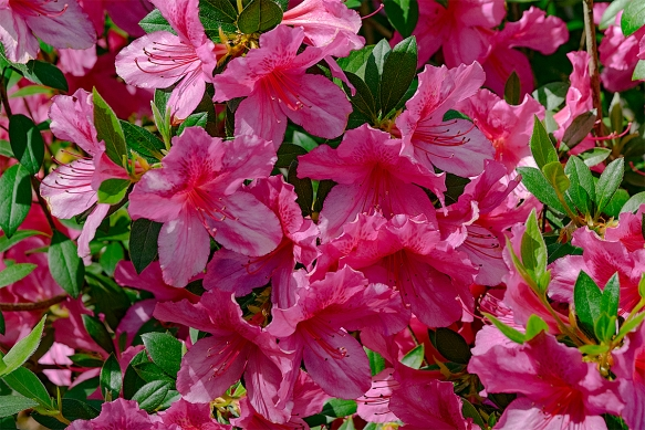 blogHomeRoses and Azaleas04142016 (63)