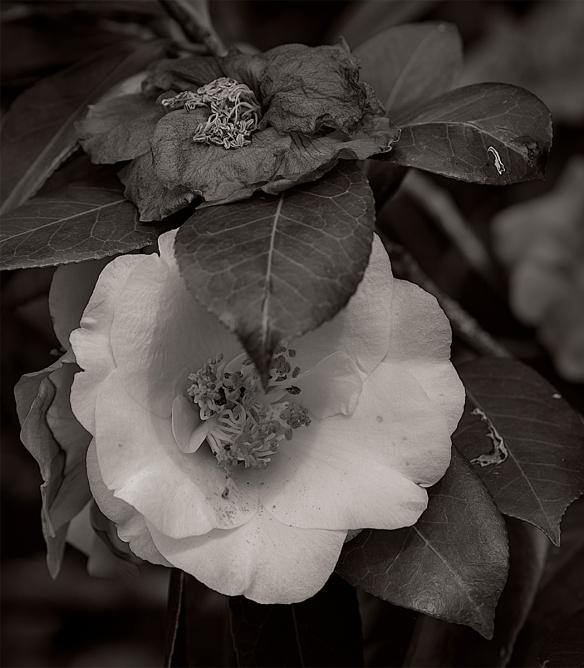Camellias_Panorama1
