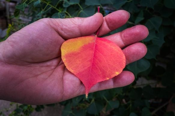 SamHandbrown leaf3165