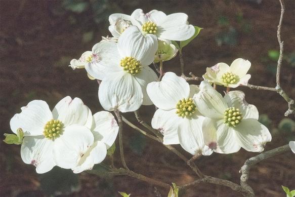 FurmanDogwoodflowers915