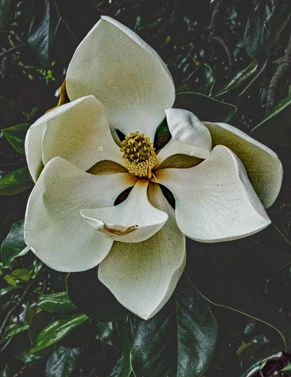 Alice magnolia_IMG0053
